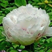 Paeonia 'Xiang Yu'  (20/06/2013)  added by Shoot)
