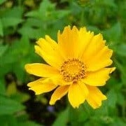 Coreopsis grandiflora 'Mayfield Giant' (20/06/2013)  added by Shoot)