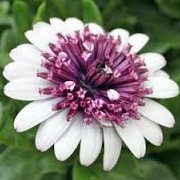 Osteospermum 'Flower Power Double White' (20/06/2013)  added by Shoot)
