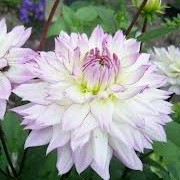 Dahlia 'Crazy Love' (20/06/2013)  added by Shoot)