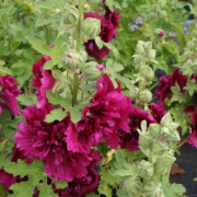 Alcea rosea Chater's Double Group purple-flowered (22/08/2017) Alcea rosea Chater's Double Group purple-flowered added by Shoot)