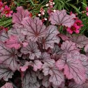 Heuchera 'Coco' (Little Cutie Series)