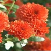 Chrysanthemum 'Branspice' (24/08/2013)  added by Shoot)