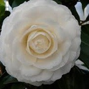 Camellia japonica 'Matterhorn' (24/08/2013)  added by Shoot)