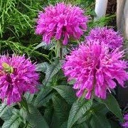 Monarda 'On Parade' (24/08/2013)  added by Shoot)