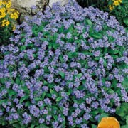 'Blue Ball' has dense cymes of bright bue flowers. Myosotis 'Blue Ball' added by Shoot)