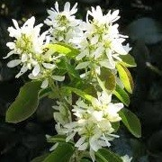 Amelanchier alnifolia 'Obelisk'  (08/09/2013)  added by Shoot)