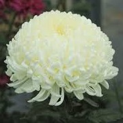 Chrysanthemum 'Allouise'
