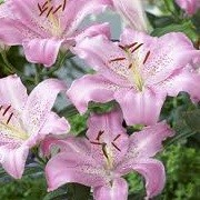 Lilium 'Josephine' (08/09/2013)  added by Shoot)
