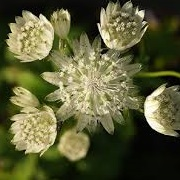 Astrantia 'Superstar'