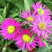Aster novi-belgii 'Alice Haslam' (07/09/2013)  added by Shoot)