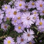 Aster laevis 'Arcturus' (07/09/2013)  added by Shoot)