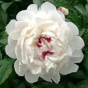 Paeonia lactiflora 'Festiva Maxima'  (06/09/2013)  added by Shoot)
