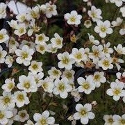 Saxifraga 'Mossy White' (07/09/2013)  added by Shoot)