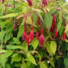Fuchsia magellanica 'Mountain Gold'