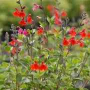 Salvia 'Royal Bumble' (07/09/2014)  added by Shoot)
