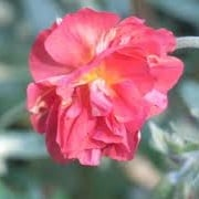 Helianthemum 'Rose of Leeswood'
