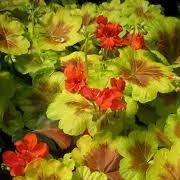 Pelargonium 'Occold Shield' (30/09/2013)  added by Shoot)