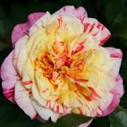 Rosa 'All American Magic'