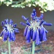 Agapanthus inapertus subsp. pendulus 'Graskop' (07/12/2013)  added by Shoot)