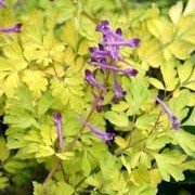 Corydalis shimienensis 'Berry Exciting' (07/12/2013)  added by Shoot)