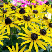 Rudbeckia fulgida var. sullivantii 'Little Goldstar' (Black-eyed susan 'Little Goldstar') (27/06/2018) Rudbeckia fulgida var. sullivantii 'Little Goldstar' added by Shoot)