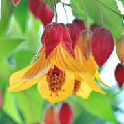 Abutilon 'Kentish Belle' (23/10/2017) Abutilon 'Kentish Belle' added by Shoot)
