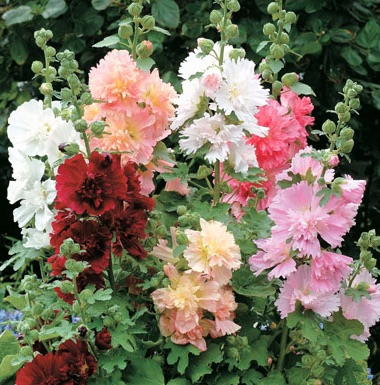Alcea rosea Summer Carnival Group