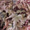X Heucherella 'Burnished Bronze'