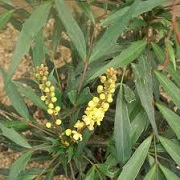 Mahonia 'Sweet Winter'