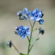 Anchusa leptophylla (07/12/2013)  added by Shoot)