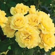 Rosa 'Sparkling Yellow'