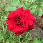 Rosa 'Red Hat Lady'