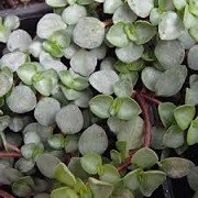 Pilea libanensis (24/02/2014)  added by Shoot)