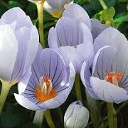 Crocus pulchellus (24/02/2014)  added by Shoot)