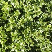 Pittosporum tenuifolium 'Golf Ball' (27/02/2014)  added by Shoot)