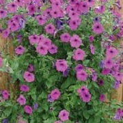 Petunia 'Purple Tower'