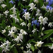 Scilla siberica 'Alba' (11/02/2014)  added by Shoot)