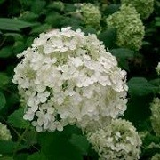 Hydrangea arborescens (10/02/2014)  added by Shoot)