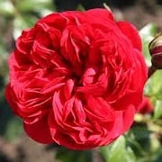 Rosa 'Out of Rosenheim'