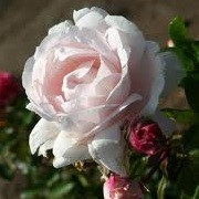 Rosa 'Constanze Mozart' (10/02/2014)  added by Shoot)