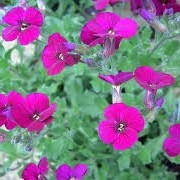 Aubrieta 'Bressingham Red' (05/02/2014)  added by Shoot)