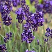 Lavandula angustifolia 'L'Avance Purple' (04/02/2014)  added by Shoot)