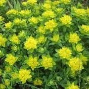 Euphorbia polychroma 'Golden Fusion' (03/03/2014)  added by Shoot)