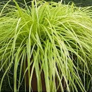 Carex oshimensis 'Everillo' (03/03/2014)  added by Shoot)