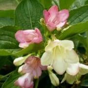 (28/04/2020) Weigela florida 'Versicolor' added by Shoot)