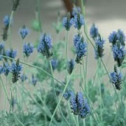 Lavandula 'Spanish Eyes'