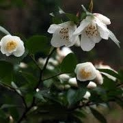Camellia transnokoensis  (10/03/2014)  added by Shoot)