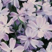 Phlox subulata 'Oakington Blue Eyes' (10/03/2014)  added by Shoot)