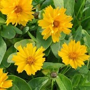 Coreopsis grandiflora 'Presto'  (30/04/2014)  added by Shoot)
